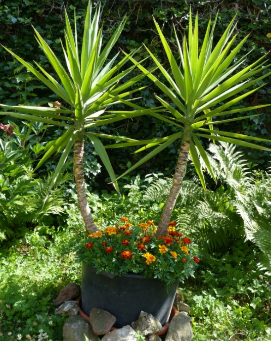 Yucca Plant: Indoor Care & Growing Guide